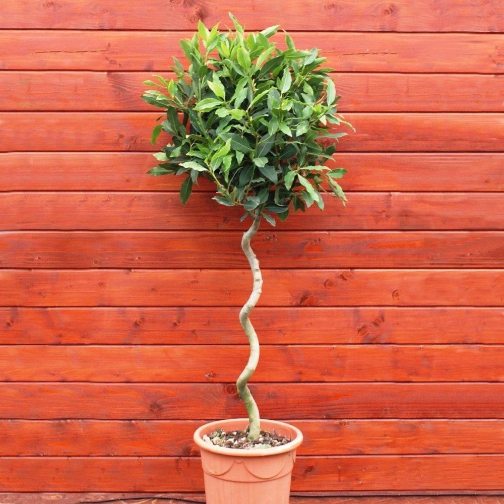 Как ухаживать за домашним лавровым деревом в домашних условиях