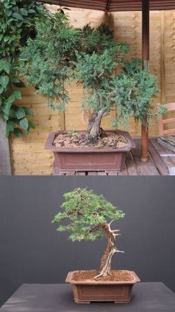 bonsai_juniper-192