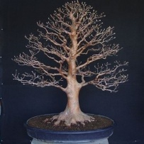 Chokkan_bonsai-71