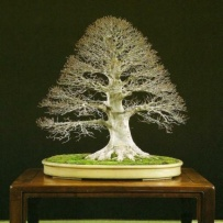 Chokkan_bonsai-46