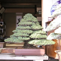Chokkan_bonsai-27