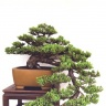 bonsai_juniper-193