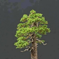 Chokkan_bonsai-50