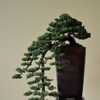 Kengai_bonsai-20