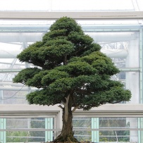 Chokkan_bonsai-31