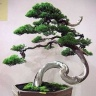 bonsai_juniper-190