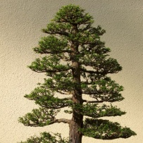Chokkan_bonsai-70