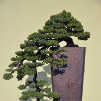 Kengai_bonsai-53
