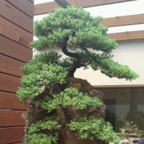 Kengai_bonsai-10