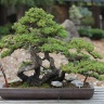 bonsai_juniper-196