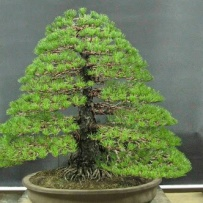 Chokkan_bonsai-22