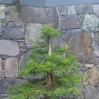 Chokkan_bonsai-14
