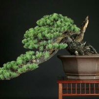 Kengai_bonsai-50