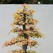 Chokkan_bonsai-9
