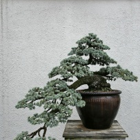 Kengai_bonsai-11
