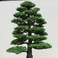 Chokkan_bonsai-88