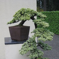 Kengai_bonsai-27