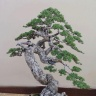 bonsai_juniper-199
