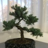 bonsai_juniper-191