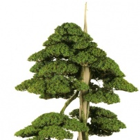 Chokkan_bonsai-13