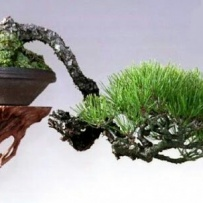 Kengai_bonsai-66