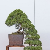 Kengai_bonsai-18