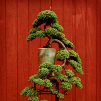 Kengai_bonsai-1