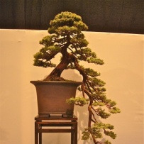 Kengai_bonsai-19