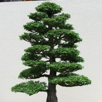 Chokkan_bonsai-10