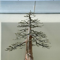 Chokkan_bonsai-16