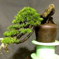 Kengai_bonsai-51