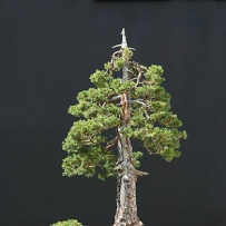 Chokkan_bonsai-26