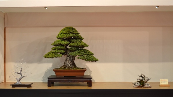Pinus Pentaphylla (Japanese Five needle pine) By Andres Alvarez Iglesias, styling by Mario Komsta