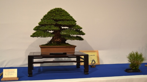 Pinus Parviflora Kokonoe (Japanese Five needle Pine) By Mark & Ritta Cooper